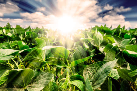 agricultural: Powerful Sunrise behind closeup of soybean plant leaves. Blue Sky with white clouds and golden light. Focus on the leaves.