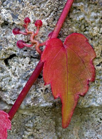 clinging: Red ivy showing the suckers clinging to the wall. Stock Photo