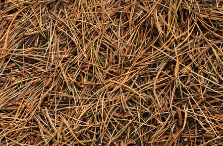 pine needles: Forest Floor covered in pine needles.