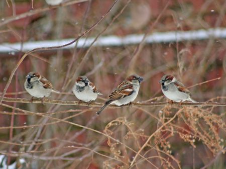 Four house sparrows hanging out photo