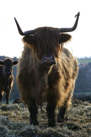 Cattle On A U.K. Farm In Early Morning Stock Photo
