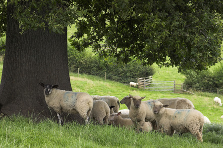 Sheep On A U.K. Farm Stock Photo