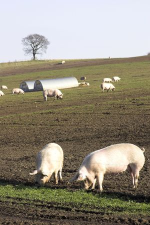 Pigs On A U.K. Pig Farm
