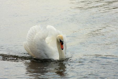 A swan gliding through water