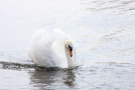 Swan gracefully gliding through water Stock Photo