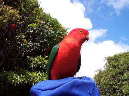 king parrot: This is a friendly male King parrot. He liked posing for the camera. There were a lot of them in the trees at OReillys, in the Lamington National Park. The park is behind the Gold Coast, in Queensland, Australia Stock Photo