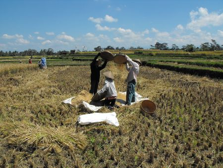 Harvesting rice in Bali. I came across these Balinese workers harvesting rice. photo