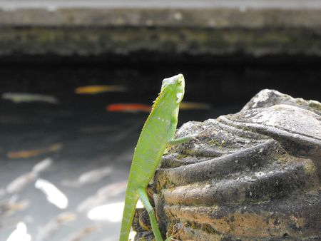 georgeous: This is a georgeous young Chameleon at the Spring Water Temple in Bali.