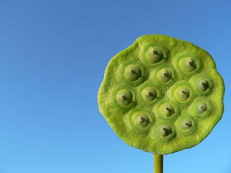 graine lotus: Cosse De Graine De Lotus
