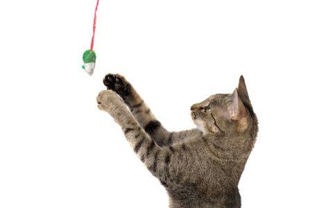 gato jugando: Gato que juega con el juguete del rat�n