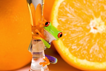 Red Eyed Tree Frog with Fresh Oranges photo