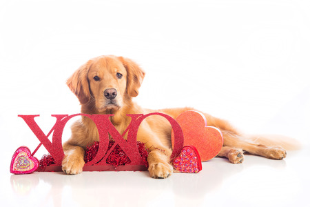 golden retriever: A beautiful Golden Retriever Dog laying down in Valentine Stock Photo