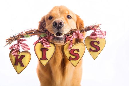 baiser amoureux: Tenant un beau chien Golden Retriever un signe dans sa bouche qui dit BAISER