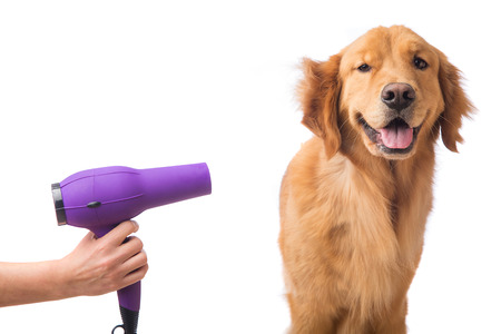 dog grooming: Groomer using blowdryer on a dog Stock Photo