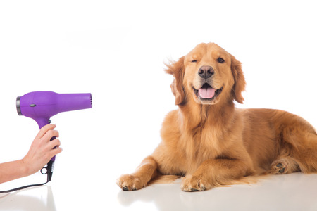 groomer: A golden retriever dog getting his fur dried with a blower at the groomer.
