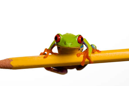 exotic pet: Red Eyed Tree Frog Stock Photo