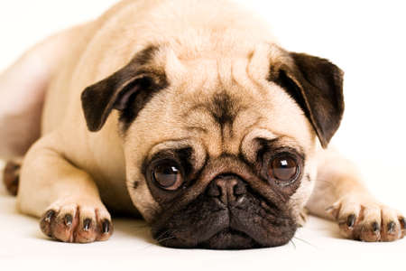 A sad Pug puppy dog laying down