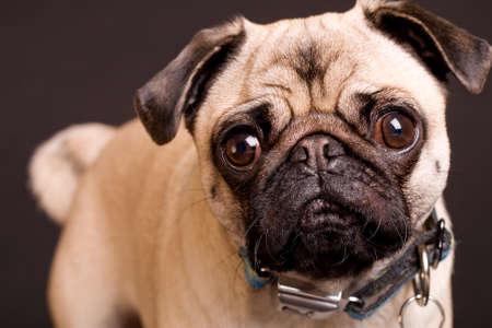 pug dog: Pug Dog