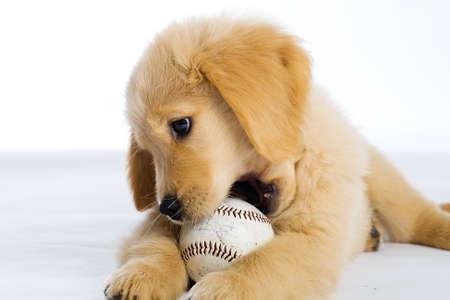 masticar: Cachorro de mascar b�isbol