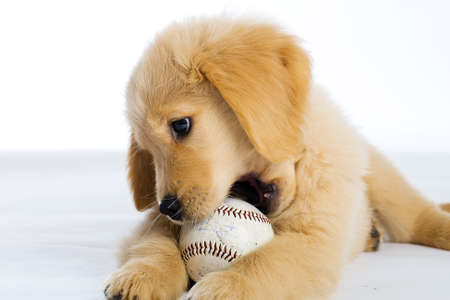 golden retriever: Puppy Chewing Baseball Stock Photo