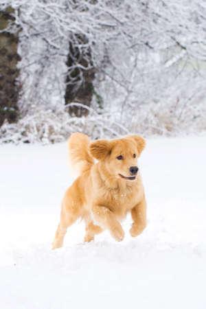 perro corriendo: Hermoso perro Golden Retriever en la nieve