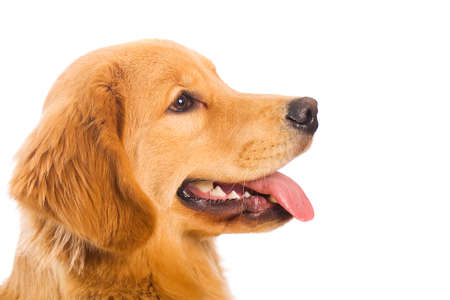 profile: golden retriever profile Stock Photo