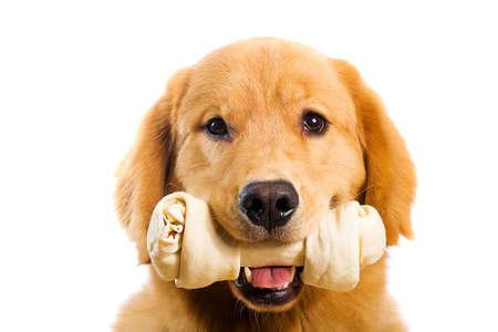 masticar: Golden Retriever con un hueso de cuero crudo Chew Foto de archivo