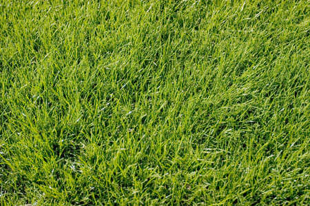cut grass: Fresh cut green grass background
