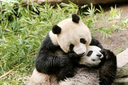 cachorro: Oso panda y su cachorro