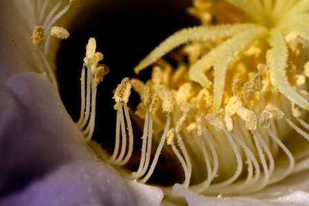 pistils: Pistils and pollen inside a blue flower Stock Photo