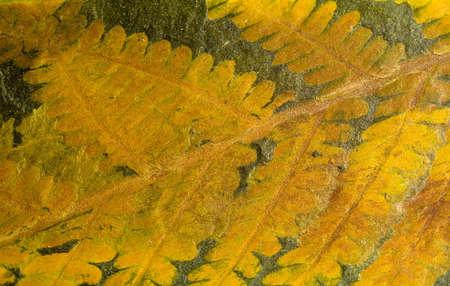 carboniferous: Fossil fern in slate stone, Carboniferous period