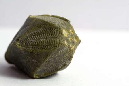 carboniferous: Fossil invertebrate echinoderm, Carboniferous period