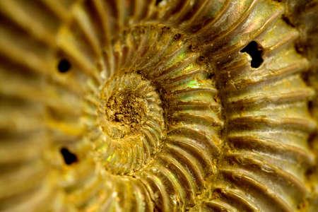 prehistoria: Ammonites del per�odo Jur�sico