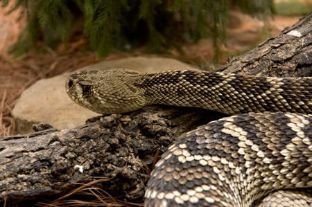 upclose: A rattlesnake up-close, wonderful detail of its scales. Stock Photo