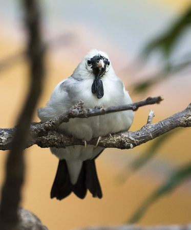 Beautiful Wattled Starling  bird  Excellent detail in it s feathers  Stock Photo - 21024092