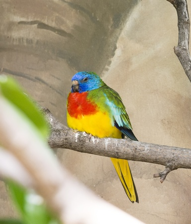 Closeup photo of a beautiful, colorful and exotic Scarlet Chested Parakeet bird Stock Photo - 21024095