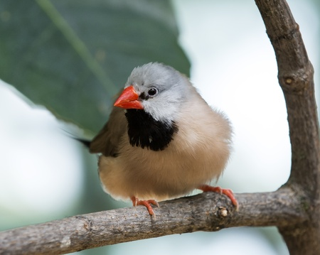 Closeup photo of a beautiful Shaft-Tail Finch bird with a black chest and orange feet and beak Stock Photo - 21024096