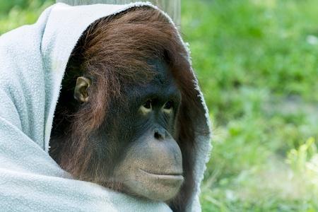 orangutang: Closeup photo of a juvenile Orangutan with a blanket wraped around him