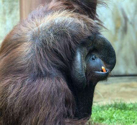 orangutang: Photo of a large adult male Orangutan eating some carrots  Stock Photo