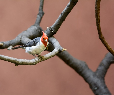 Photo of a beautiful Red Crested Cardinal bird perched on a branch  Stock Photo - 21024125