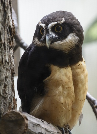 spectacled: Closeup photo of a beautiful Spectacled owl bird