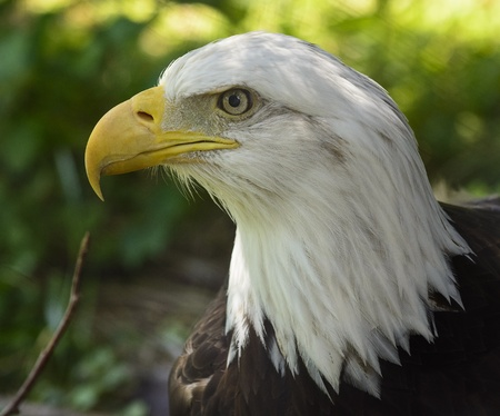 Closeup photo of a beautiful and proud American Bald Eagle  National bird of the United States of America  photo