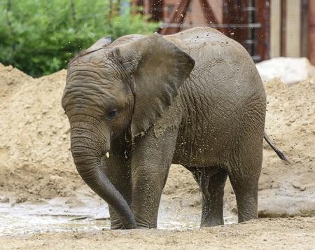 you can: Foto de un joven elefante africano macho disfrutando de un baño de barro Puedes ver todas las gotas de agua en el aire cuando salpica el agua fangosa más de su cuerpo