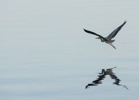 great blue heron: Photo of a Great Blue Heron as it flys low over a calm lake.