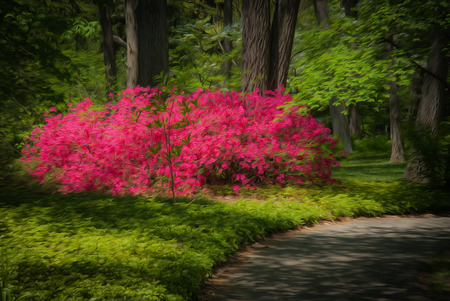 garden path: Beautiful manicured garden with a path lined with blooming pink azalea bushes