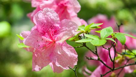 azaleas: Beautiful photo of a blooming Pink Azaleas flowers