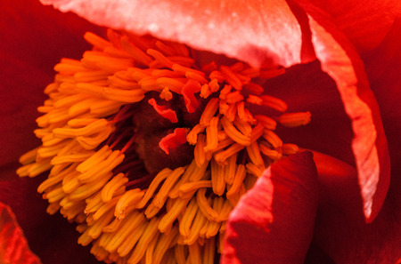 botanica: Beautiful photo of a blooming red poppy in a garden  Stock Photo