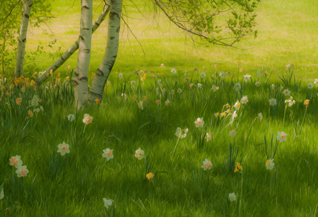 daffodils: Grass field with a birch tree and blooming Daffodils in the grass under it with oil painting effect