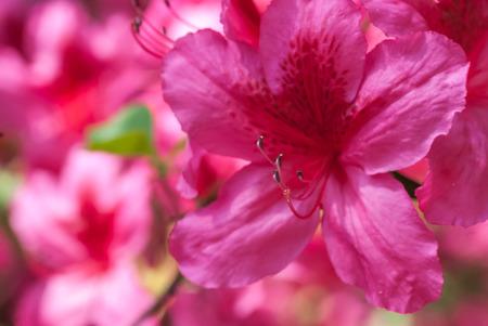 azaleas: Beautiful photo of a blooming Pink Azalea flowers