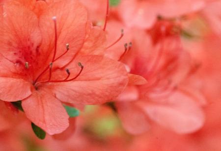 azaleas: Beautiful photo of a blooming Salmon Pink Azalea flowers  Stock Photo